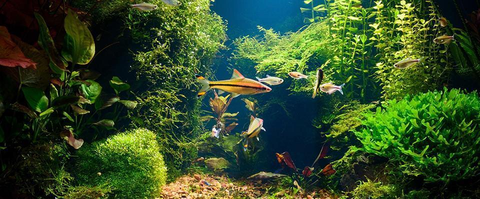 Ryby natle wodorostów